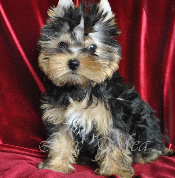 фото щенок йркширского терьера Шерман