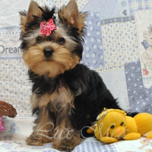 foto-yorkshirskogo-terriera-pitomnik-spb-puppies-eliza