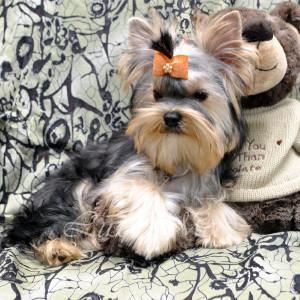 photo-shenka-yorkshire-terrier-sheridan