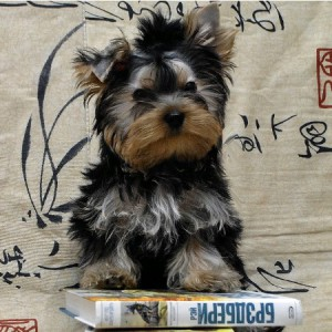 puppy-york-miniatura-julian