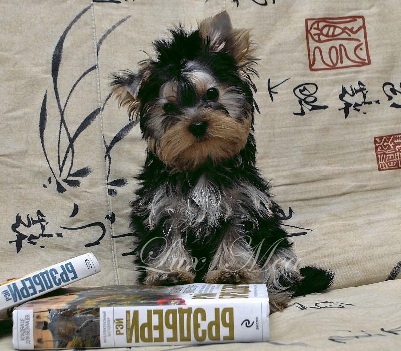 На фото щенок Йоркширского треьера мальчик Юлиан