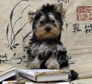 Фото щенок йорка мальчик для дома недорого