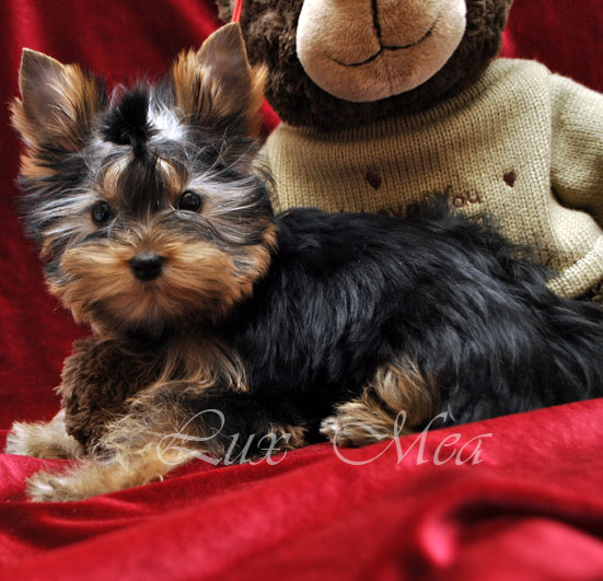 foto-yorkshir-terrier-puppies-yasmin