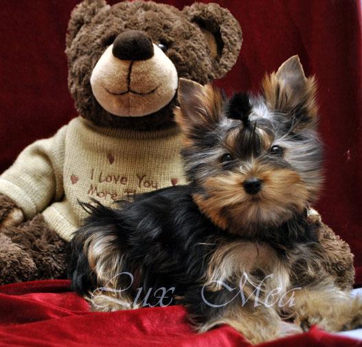 foto-yorkshirskogo-terriera-pitomnik-spb-puppies-yasmin