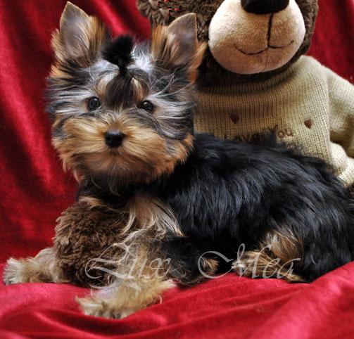 yorkshir-terrier-shenok-pitomnik-yasmin