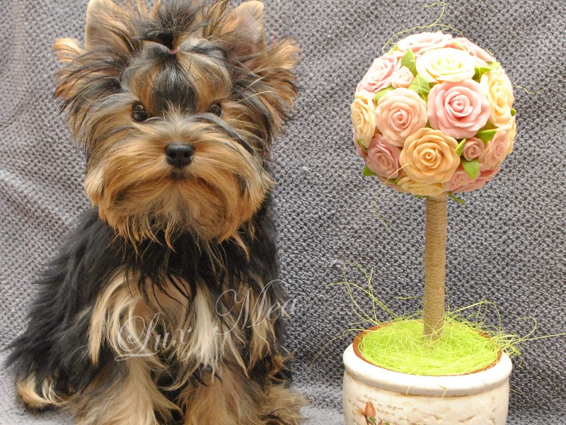 photo-shenka-yorkshire-terrier-yagodka