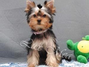 На фото щенок йорка девочка Иоланта в 3 м-ца