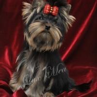 puppy-yorkshir-terrier-pitomnik-tatsh-me