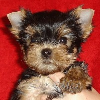 puppy_yorkterrier_for_sale_alisha
