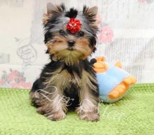 На фото щенок йоркширского терьера мальчик Изюм