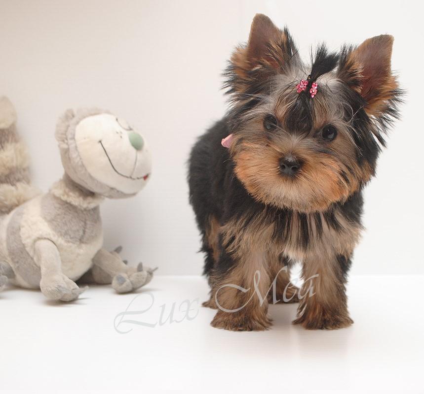 щенок йорка фото девочки