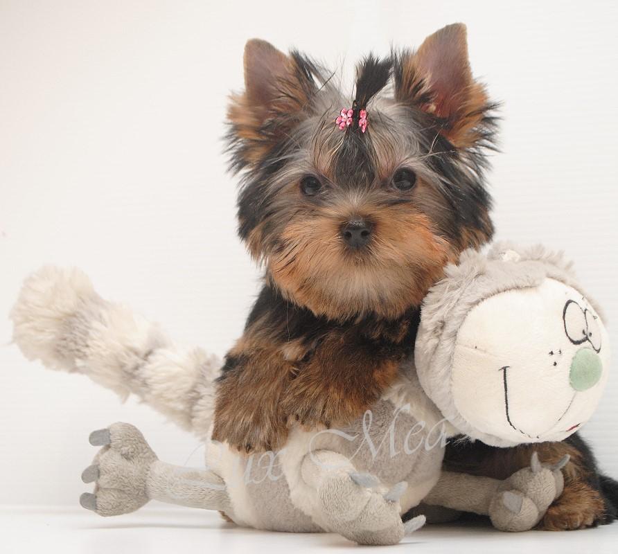 Фото щенка йоркширского терьера Нелли