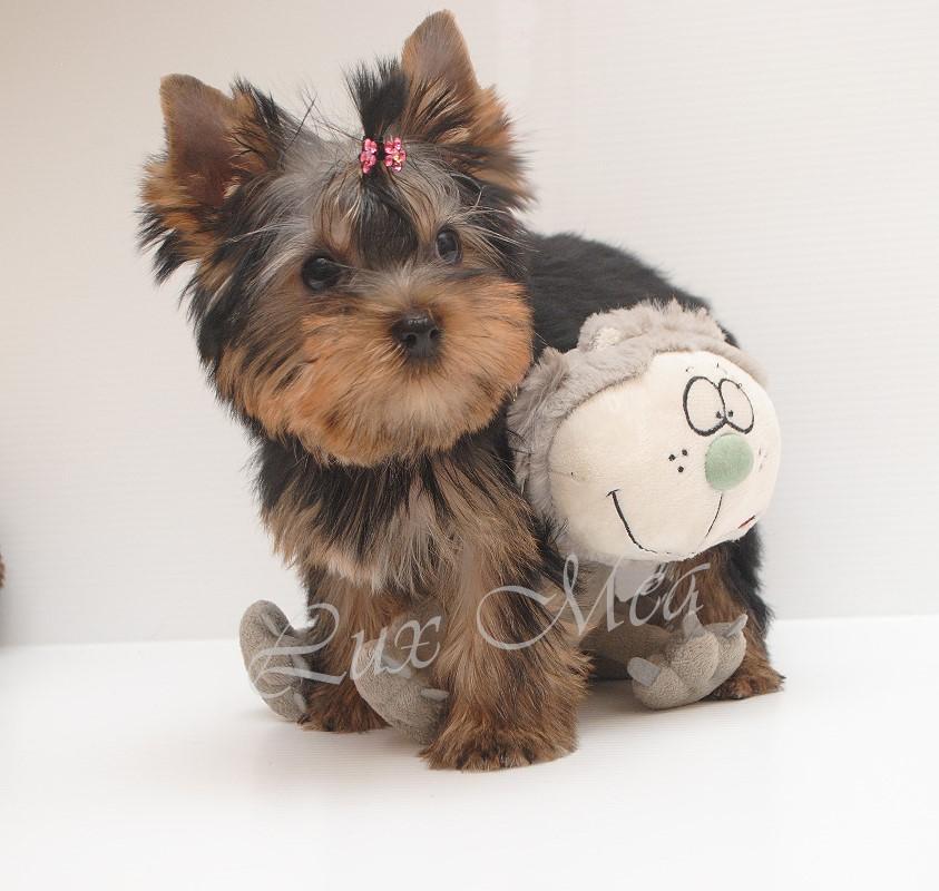 нф фото щенок йоркширского терьера девочка Нелли