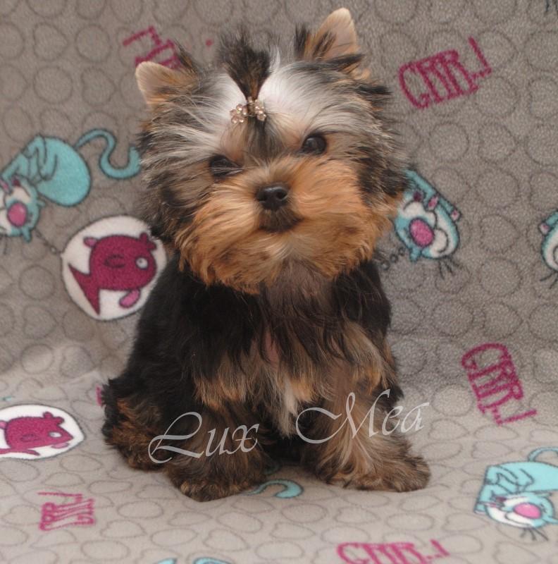 щенок йорка миниатюрный купить в питомнике