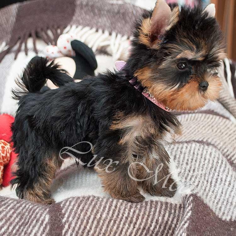 На фото щенок йорка мальчик Рафаэль