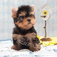 Фото щенка йорка девочки с мордочкой беби фейс Рокси