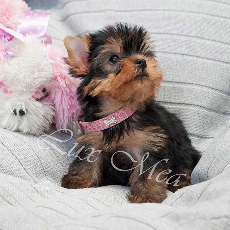 Фото щенка йоркширского терьера Рейнальдо