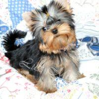 На фото щенок йоркширского терьера девочка София