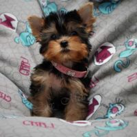 на фото щенок йорка девочка Туся