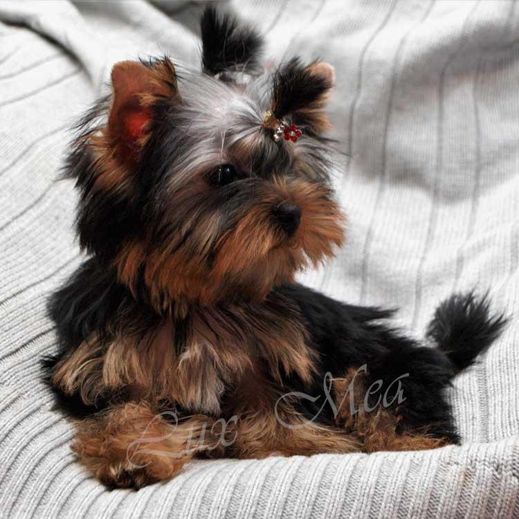 щенок с кукольной мордочкой