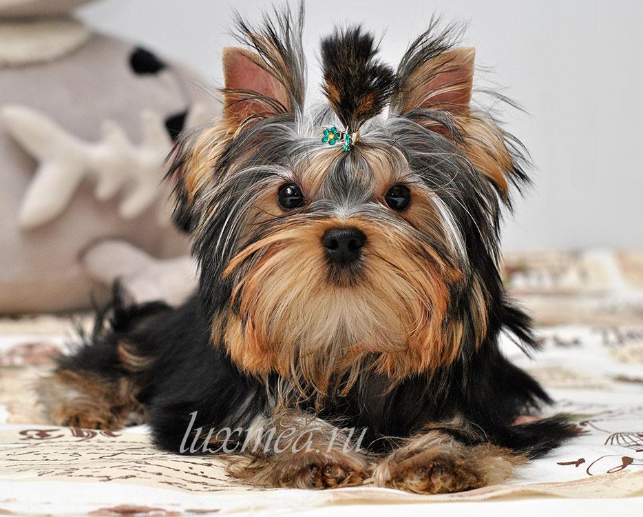 йоркширский терьер щенок ищет дом