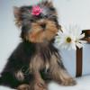 Продается щенок йоркширского терьера Одри