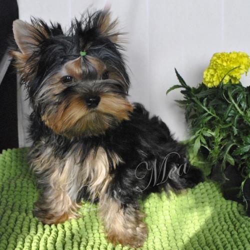 Красивый щенок йоркширского терьера Уиллис