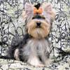 В питомнике продаются красивые щенки йоркширского терьера