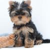 Продается щенок йоркширского терьера мальчик