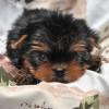 Информация по щенкам на продажу в питомнике на 07.12.16